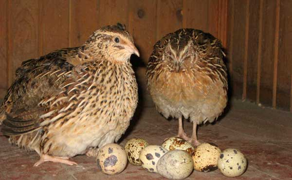 Самки начинают нестись с 7-8 месячного возраста