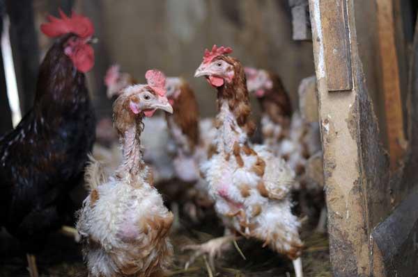 Птицы перестают давать яйца
