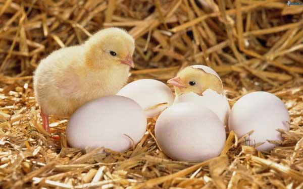 Белые яйца