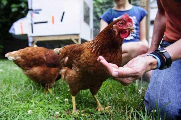Возможно, птица перестанет давать яйца