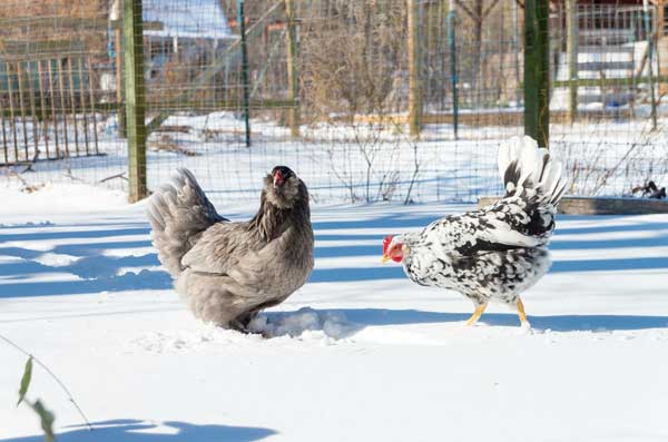 Ищут еду под снегом