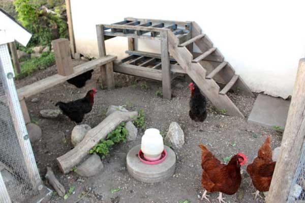 Пасутся на птичьем дворе