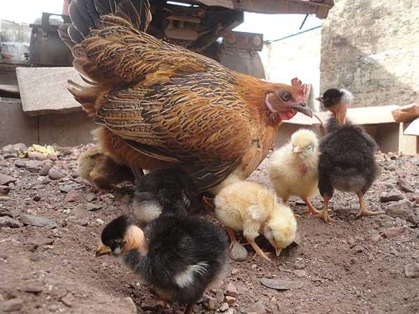 Выгуливает цыплят