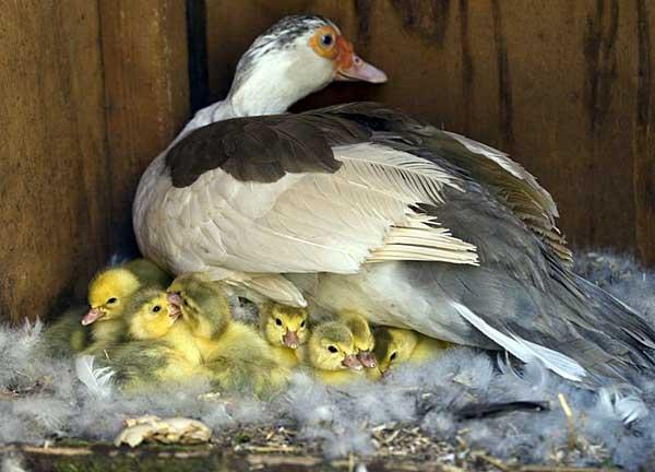 Чужих птенцов может заклевать