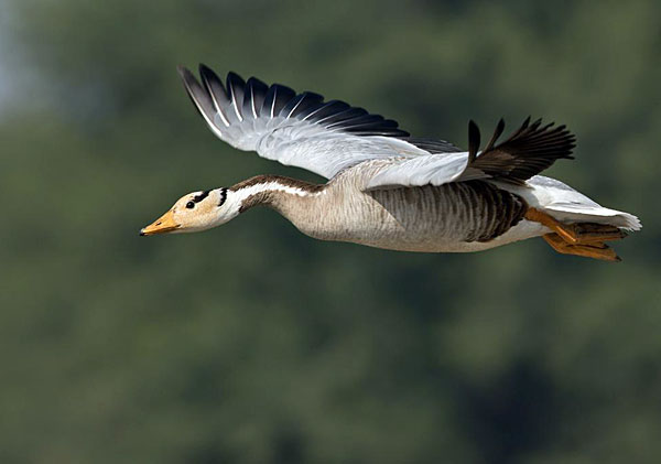 Перелетная птица