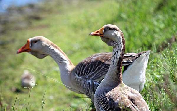 Теплолюбивые и изнеженные птицы