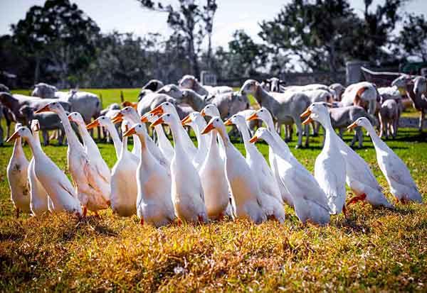 Пугливые птицы