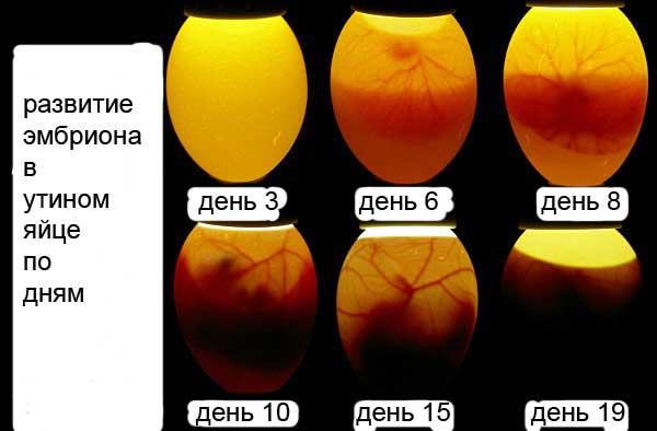 Развитие эмбрионов по дням