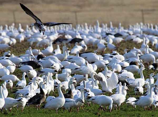 Стая диких птиц