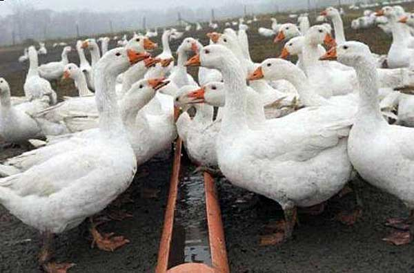 Травоядные водоплавающие птицы