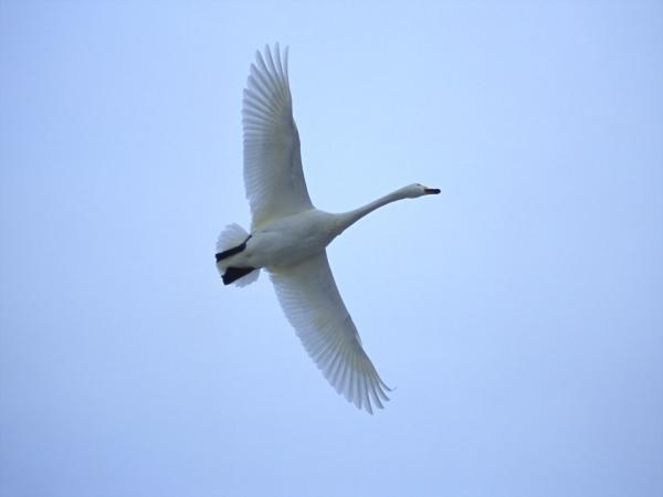 Обладает длинными крыльями