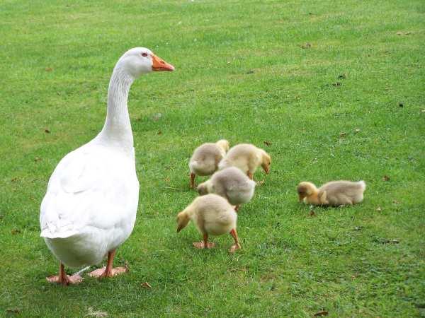 У птицы сильно развит материнский инстинкт