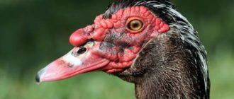 Мясная птица