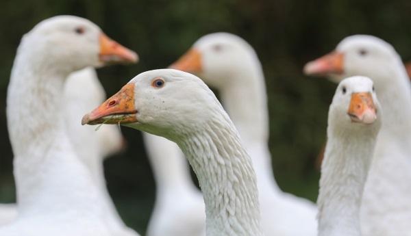 Нужно беречь здоровье птицы