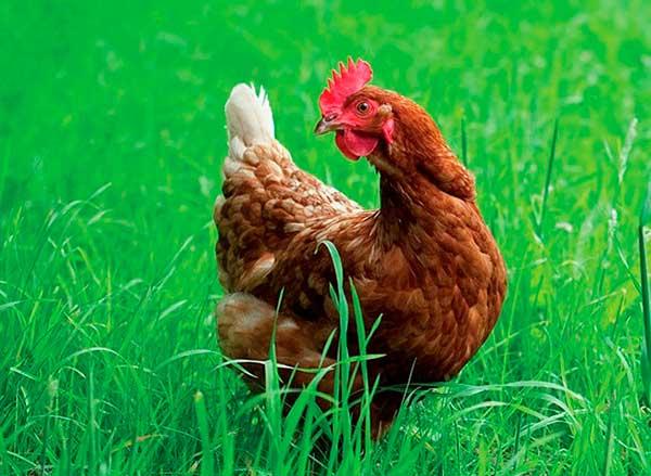 Так выглядит курица