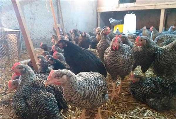 Степень яйценоскости зависит от условий выращивания птицы