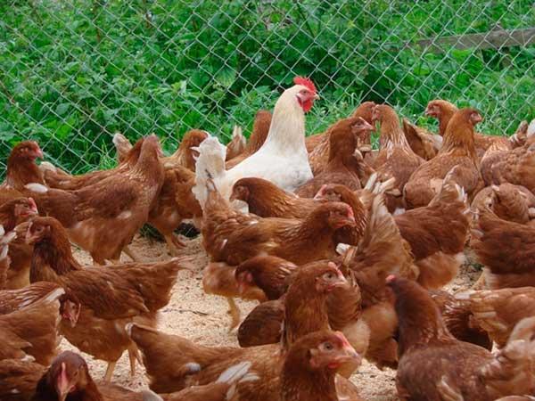 Курочки несут яйца около полутора лет
