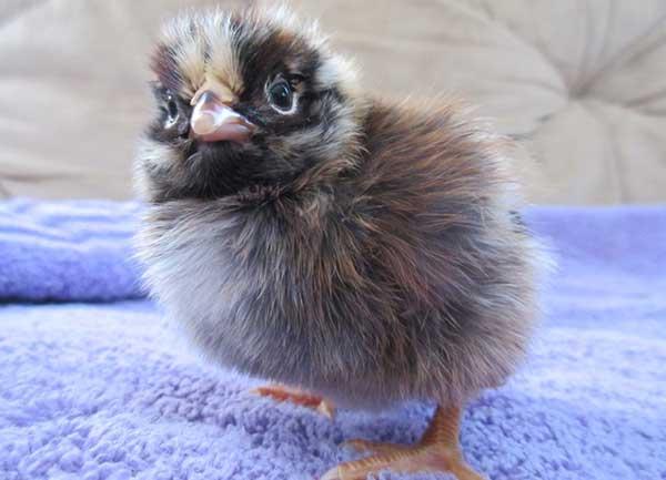 Цыплятам необходимо вовремя делать прививку