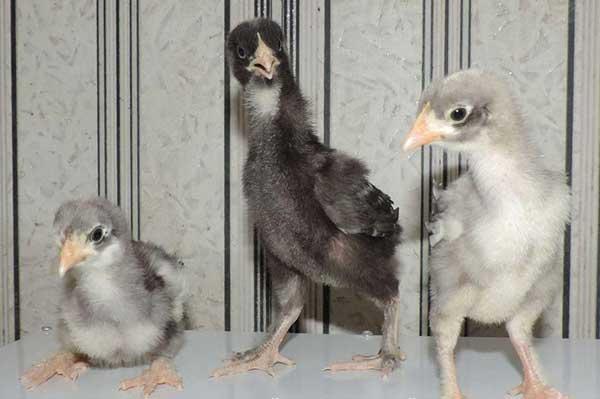 Для птенцов важно сбалансированное питание