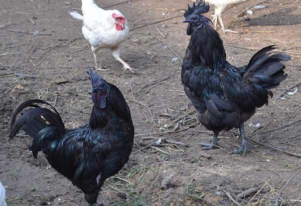 Домашние птицы родом из Китая