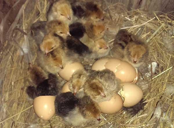 Цыплят нужно содержать отдельно от взрослых