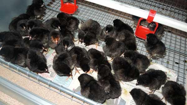 На 1 кв.м допустимо содержать 25-30 цыплят