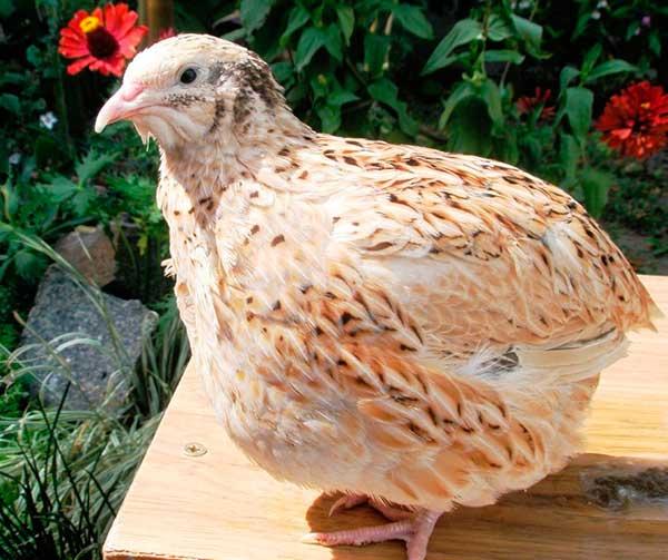 Птица английской белой породы