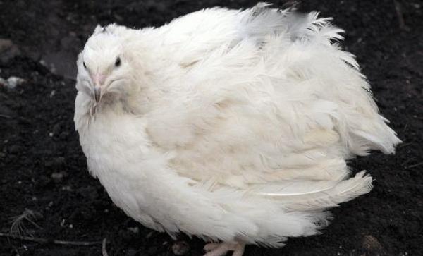 Крупный техасский белый перепел