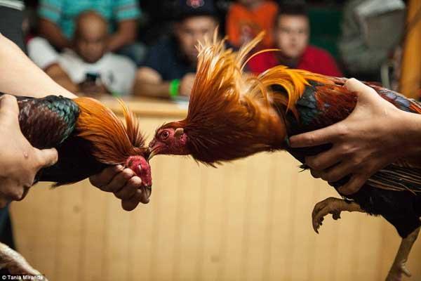 Родиной птиц считаются Индия, Китай и Персия