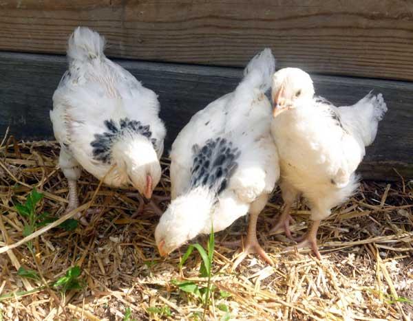 Слабых цыплят выбраковывают