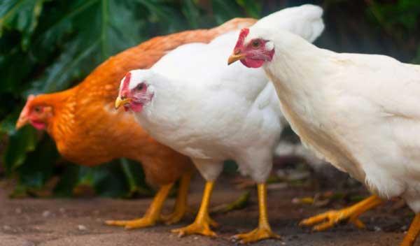 Можно содержать с другими птицами