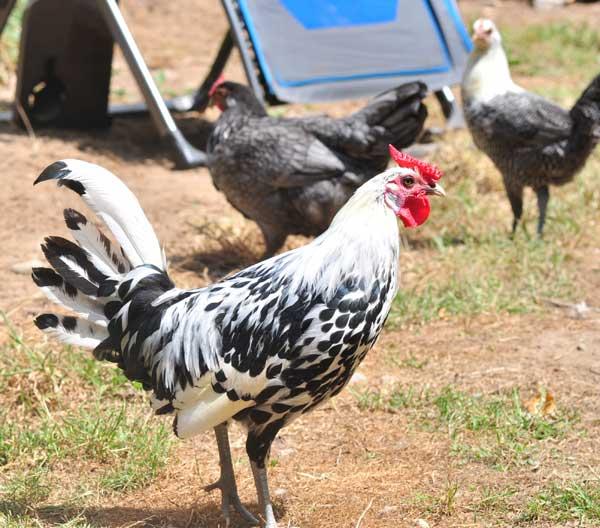 Птиц, не соответствующих стандарту, выбраковывают