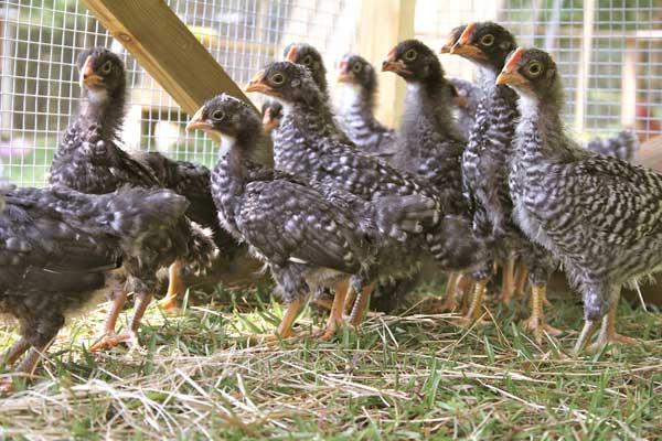Цыплят рассаживают по половому признаку