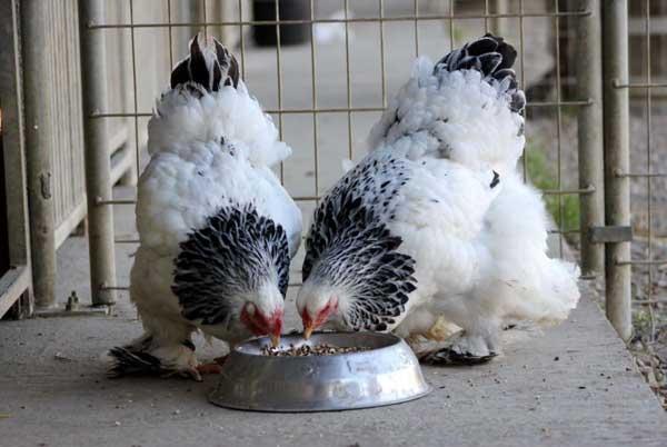 Качественный корм - залог здоровья птицы