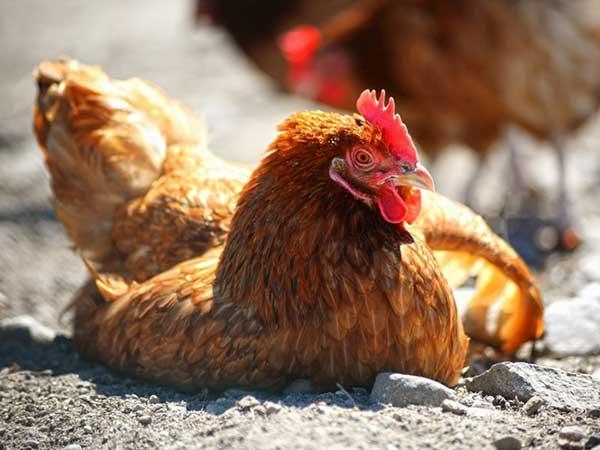 Куры не высиживают цыплят