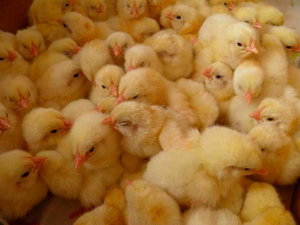 Первые дни кормят вареным яйцом