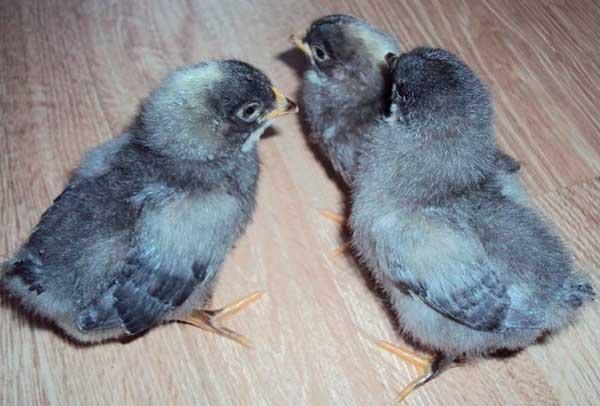 Сквозняки для цыплят недопустимы