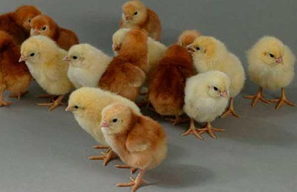 Цыплятам нужно тепло и свет