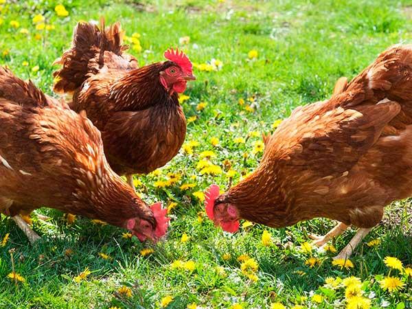 При лишнем весе птиц сажают на травяную диету