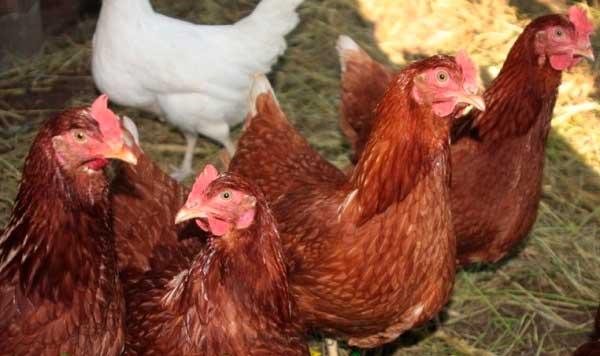 Птицы с перьями светло-коричневого или красного цвета