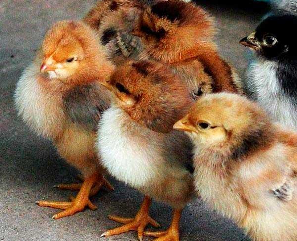 Цыплята жизнестойкие