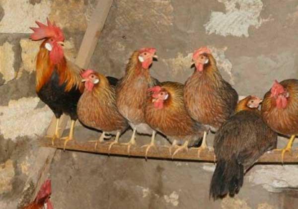 Цыплят обогревают инфракрасной лампой
