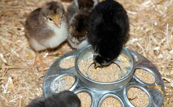 Кормушки у цыплят должны быть маленькими