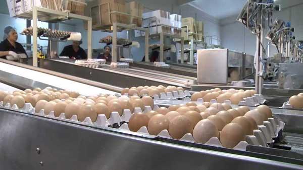 Обработка яиц