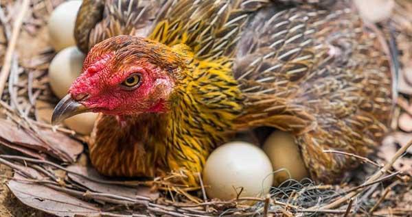 Охраняет яйца