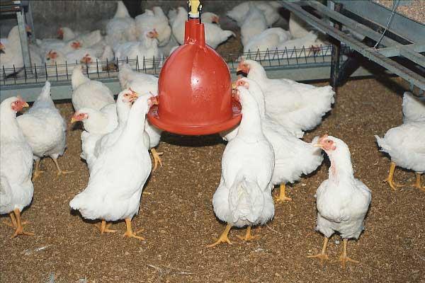 Рекомендуется держать цыплят в доме