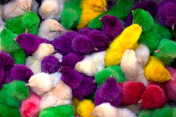 Разноцветные цыплята