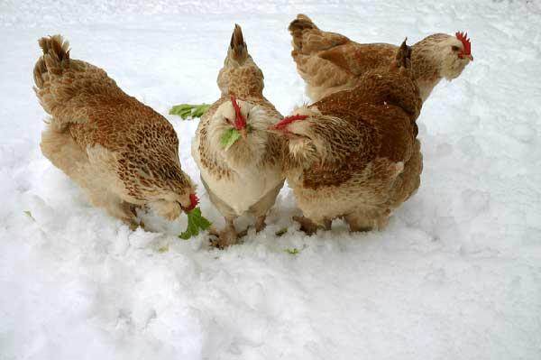 Зимой подвержены заболеваниям