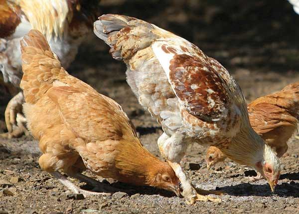Волновать птиц могут паразиты