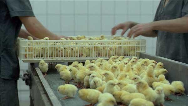 Выкладывают цыплят на ленту